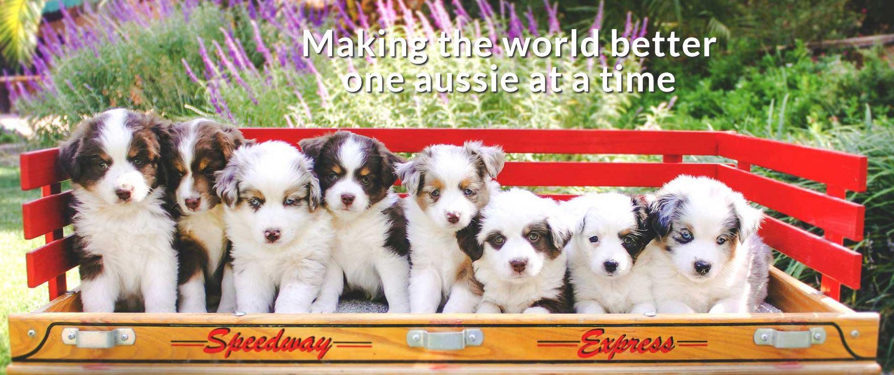 Miniature American Shepherds & Mini Aussies   Porterville, CA