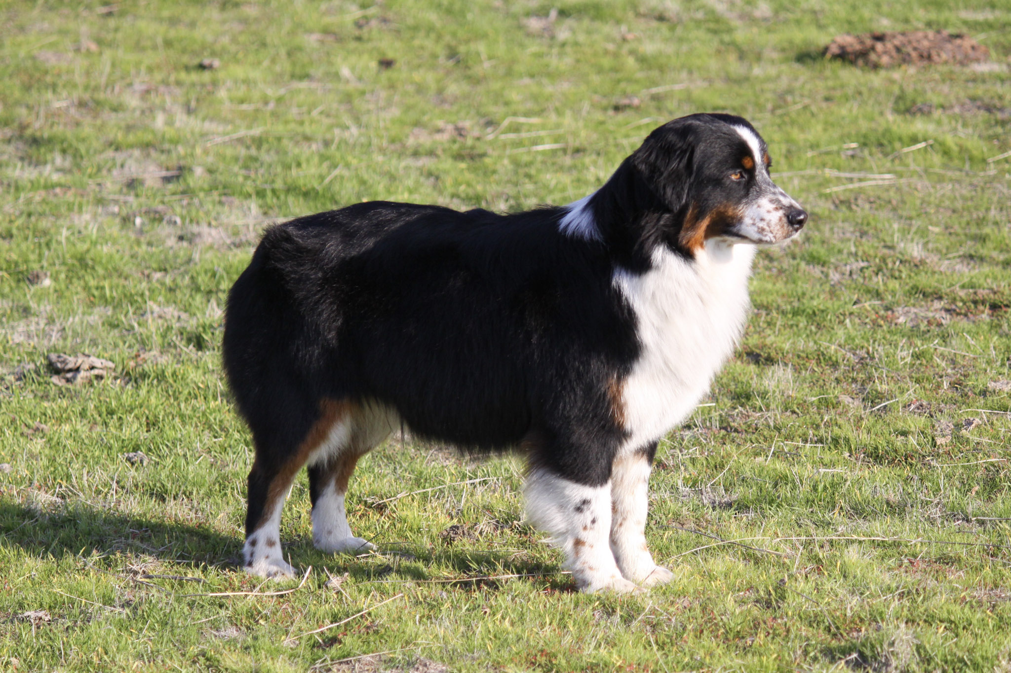 Miniature American Shepherds & Mini Aussies available for